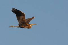 Purperreiger / Purple Heron (igerarddejong) Tags: bird purperreiger purpleheron ardeapurpurea breskens vogel