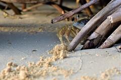 2019.04.23.9368 Ghost Crab (Brunswick Forge) Tags: 2019 florida staugustine crab animal animals animalportraits outdoor outdoors wildlife nature nikond500 nikkor200500mm evening sunset goldenhour spring