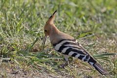 Wiedehopf (Upupa epops) (appeldorn99) Tags: deu deutschland sachsenanhalt hornvögelundhopfe wiedehopf