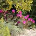 Beavertail cactus blooms