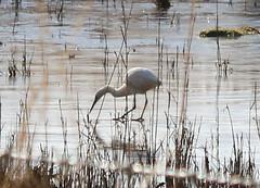 Can't get at the food (arripay) Tags: arne rspbarne ice frozen winter poole harbour dorset bird birds egret little