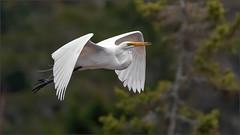 (c)WMH_2019_04_24_1172 Great Egret in Flight (WesleyHowie) Tags: greategret tantallon birds canada location egrets wildlife novascotia