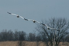White Pelican Line (Emily K P) Tags: horicon marsh wildliferefuge pelican whitepelican white bird flying flight three group line animal wildlife