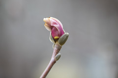 Blooming (A Great Capture) Tags: toronto flower bloom blossom magnolia tree allan gardens canon eos 5d mark iv
