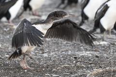 Juvenile Imperial Shag (Cormorant) colony on Bleaker (karenmelody) Tags: animal animals bird birds bleakerisland cormorant falklandislands imperialshag phalacrocoracidae phalacrocoraxatriceps suliformes vertebrate vertebrates