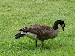 Goose On The Lawn. (dccradio) Tags: lumberton nc northcarolina robesoncounty outdoor outdoors outside nature natural wildlife goose geese canadagoose canadageese grass lawn yard ground greenery bird waterfowl animal april spring springtime wednesday morning goodmorning wednesdaymorning canon powershot elph 520hs photooftheday photo365 project365
