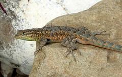 Western Side-blotched Lizard (Uta stansburiana elegans) (J.Thomas.Barnes) Tags: