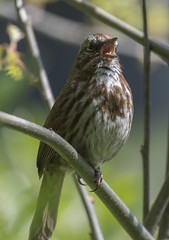Singing out (woodwindfarm) Tags: song sparrow singing