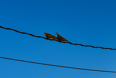 Two doves on the wire (darletts56) Tags: sky blue wire wires line lines bird birds two dove doves spring saskatchewan canada prairie brown black feather feathers yellow