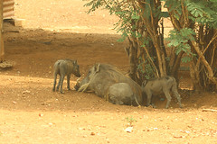 Common warthogs, Mole National Park, Ghana (inyathi) Tags: africa westafrica ghana africananimals africanwildlife commonwarthog phacochoerusafricanus molemotel molenationalpark