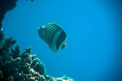 (Cindy en Israel) Tags: pez coral azul rayas acuario eilat israel paseo tour turismo viaje fauna animal