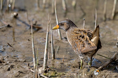 Spotted Crake (Simon Stobart - Back For Now) Tags: spotted crake porzana north east england uk