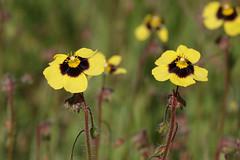 Spotted Rockrose - Tuberaria guttata (Roger Wasley) Tags: spotted rockrose tuberariaguttata samos greek island greece plant flower yellow