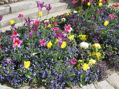 Blumenbeet (✿ Esfira ✿) Tags: tulpen tulips stiefmütterchen veilchen viola primeln primula frühling spring blumen flowers stockerau österreich austria niederösterreich loweraustria