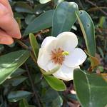 Magnolia laevifolia 'Snowbird' 02 thumbnail