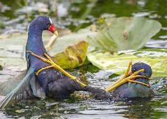 Jiu Jitsu (PeterBrannon) Tags: bird fighting florida nature polkcounty porphyriomartinica purplegallinule wildlife feet grappling
