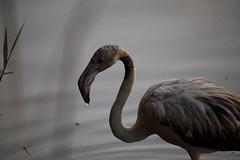 Rózsás flamingó_Flamingo_Flamenco (Nora077) Tags: