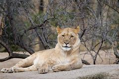 Lion (Cloudtail the Snow Leopard) Tags: tier animal säugetier mammal cat big katze groskatze raubkatze lion löwe panthera leo predator beutegreifer zoo basel
