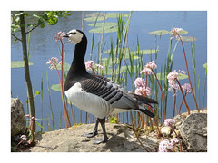 Barnacle goose, Branta leucopsis (Michiel Thomas) Tags: bird goose gans hortus haren barnaclegoose brantaleucopsis brandgans branta leucopsis barnacle