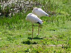 flamingo (1) (anettweiss) Tags: essehof tierpark