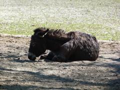 esel (3) (anettweiss) Tags: essehof tierpark