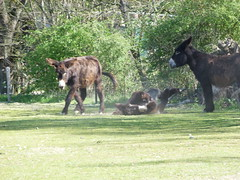esel (2) (anettweiss) Tags: essehof tierpark