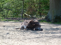 esel (1) (anettweiss) Tags: essehof tierpark