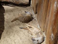 erdmännchen (3) (anettweiss) Tags: essehof tierpark
