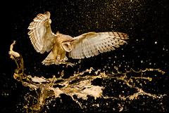 BELEZA AMEAÇADA (reisYur) Tags: ave beauty belezaameaçada endangeredbeauty flying guta owl coruja tytoalba saopaulo sp brazil