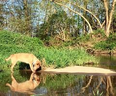 Who are you? (Zandgaby) Tags: water reflection whoareyou dog canine mirror mirroring tree outdoors green river riverbank zandgabylon