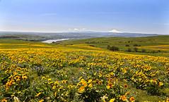 Flowers Flowers Everywhere (Team Hymas) Tags: columbiariver gorge flowers yellow springtime teamhymas washington