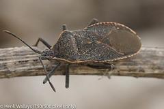 Anasa tristis (henk.wallays) Tags: inat aaaa rowenacrestviewpoint anasatristis henkwallays closeup macro nature natuur wildlife year2019 date