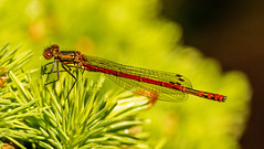 Large Red Damselfly (niloc's pic's) Tags: largereddamselfly pyrrhosomanymphula damselfly insect fly dragonfly bexhillonsea eastsussex panasonic lumix dmcgx7