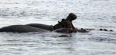 Nothing Quite Like It..... (goremirebob) Tags: zimbabwe africa wildlife hippopotamus hippo