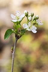 Prunus mahaleb; Rosaceae (1) (pflanzenflüsterer) Tags: rosaceae prunus prunusmahaleb frohserberg sachsenanhalt germany strauch laubwerfend 5petals white weis europa gebüsch waldrand steinweichsel neophyt bokeh