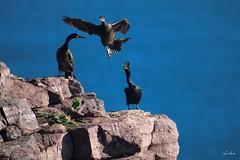 L'élément perturbateur. (Vince MESLET) Tags: bretagne cormoran erquy mer oiseaux