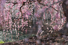 20190426 鈴鹿の森庭園【しだれ梅(早朝)】 (syashindorakunin) Tags: 花 梅 しだれ梅 plum flowers ume 鈴鹿の森庭園 suzukaforestgarden plumtreegarden japan