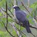 White-crowned Pigeon, Patagioenas leucocephala Ascanio_Cub2 199A4839