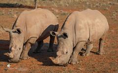 Rhinoceros (petraherdlitschke) Tags: africa animals namibia naturephotography outofafrica outdoors gamedrive wildlife wildlifephotography canon