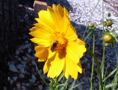 Coreopsis w Ground Nest Bee  --  L1130839 (mshnaya ☺) Tags: 2019 spring flora flowers zinia zinnia blossom flickr leica photo nature wildflower compact camera ground nest bee coreopsis yellow