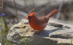 Northern Cardinal (Arvo Poolar) Tags: outdoors ontario canada scarborough guildinn arvopoolar bird nature naturallight natural nikond7000 naturephotography northerncardinal male rocks