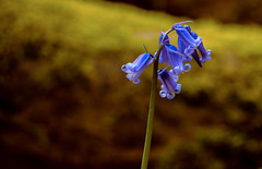 All Alone (WorcesterBarry) Tags: bluebells nature light lovecolour places photographers paths outdoors woods trails landscape focus