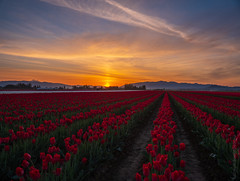 Skagit Sunrise (www.mikereidphotography.com) Tags: skagit sunrise tulips landscape fields northwest washington flowers