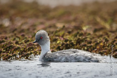 Silvery Grebe (karenmelody) Tags: animal animals bird birds bleakerisland falklandislands podicepsoccipitalis podicipediformes silverygrebe vertebrate vertebrates grebe grebes
