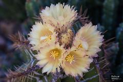 CactusBlooms_20190422-9179 (khyri) Tags: cactus cactusblooms cactusflowers trichocerus trichocereus asdm desertmuseum tucson sonorandesert