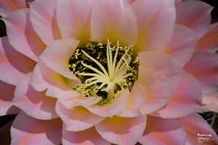 CactusBlooms_20190422-9183 (khyri) Tags: cactus cactusblooms cactusflowers trichocerus trichocereus asdm desertmuseum tucson sonorandesert