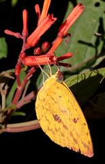 Orange-Barred Sulphur (peterkelly) Tags: digital canon 6d northamerica gadventures mayandiscovery mexico chiapas palenque palenquenationalpark butterfly yellow orangebarredsulphur phoebisphilea shadow