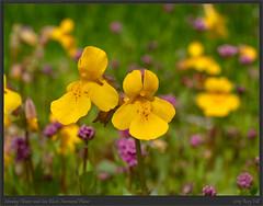 Monkey Flowers and Sea Blush, Harewood Plains (Rory_H) Tags: bc canada flora harewoodplains location nanaimo vancouverisland wildflower