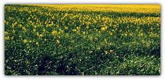 Rzepak. (andrzejskałuba) Tags: poland polska pieszyce dolnyśląsk silesia sudety europe plant pole field roślina natura nature natural natureshot natureworld nikoncoolpixb500 zieleń green yellow żółty rzepak rape widok wiosna view spring color beautiful flower flora floral flowers kwiat kwiaty