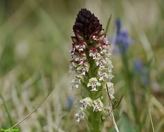 Orchis brûlé- Eternoz (francky25) Tags: orchis brûlé eternoz orchidée sauvage franchecomté doubs flore printemps orchids